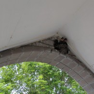 Swallow chicks in the entryway arch
