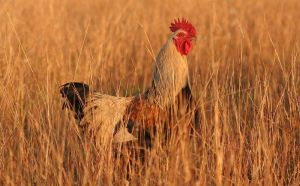 1200px-rooster04_adjusted