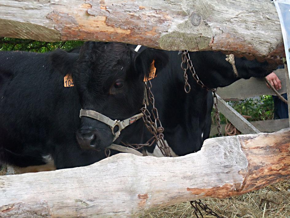 vache-bpn-et-son-veau