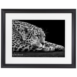 Wolf Ademeit Animal Black and White Fine Art Photography Portrait Zoo Animals Photographer Fine art photography for sale, Brett Gallery, art for home, corporate art, large format photography, Wildlife photography Cheetah