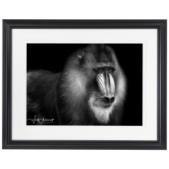 Wolf Ademeit Animal Black and White Fine Art Photography Portrait Zoo Animals Photographer Fine art photography for sale, Brett Gallery, art for home, corporate art, large format photography, Wildlife photography