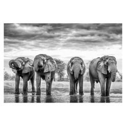 Ross Couper Animal Black and White Fine Art Photography, Wildlife Photographer, Fine art photography for Sale, Brett Gallery, Art for Home, Corporate Art, Large Format Photography, Wildlife Photography, Art Gallery, Elephant