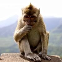 Mauritian Macaque: BRP001