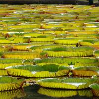 Giant Lillypads: BRP005
