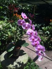 The most beautiful orchid in little Bretzels opinion