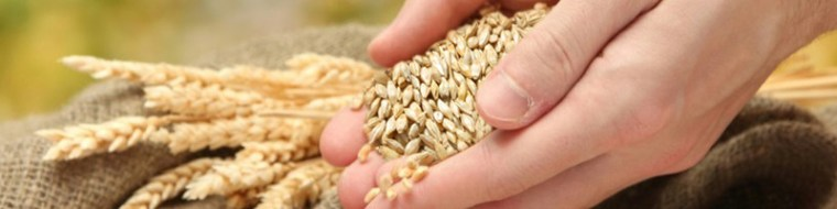 Handful of grains and some couple of wheat plants