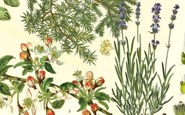 Herbs that were part of gruit and used for beer brewing in the Middle Ages.