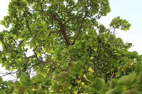 Historic Catalpa Tree_Brewery Becker Brighton MI_Biergarten_IMG_6482
