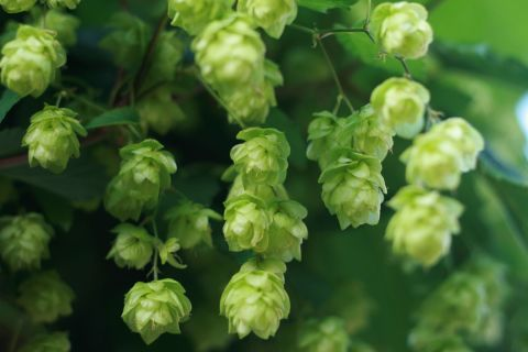 Green hop cone flowers are ready to be harvested and brewed in beer.
