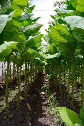 tobacco-plants