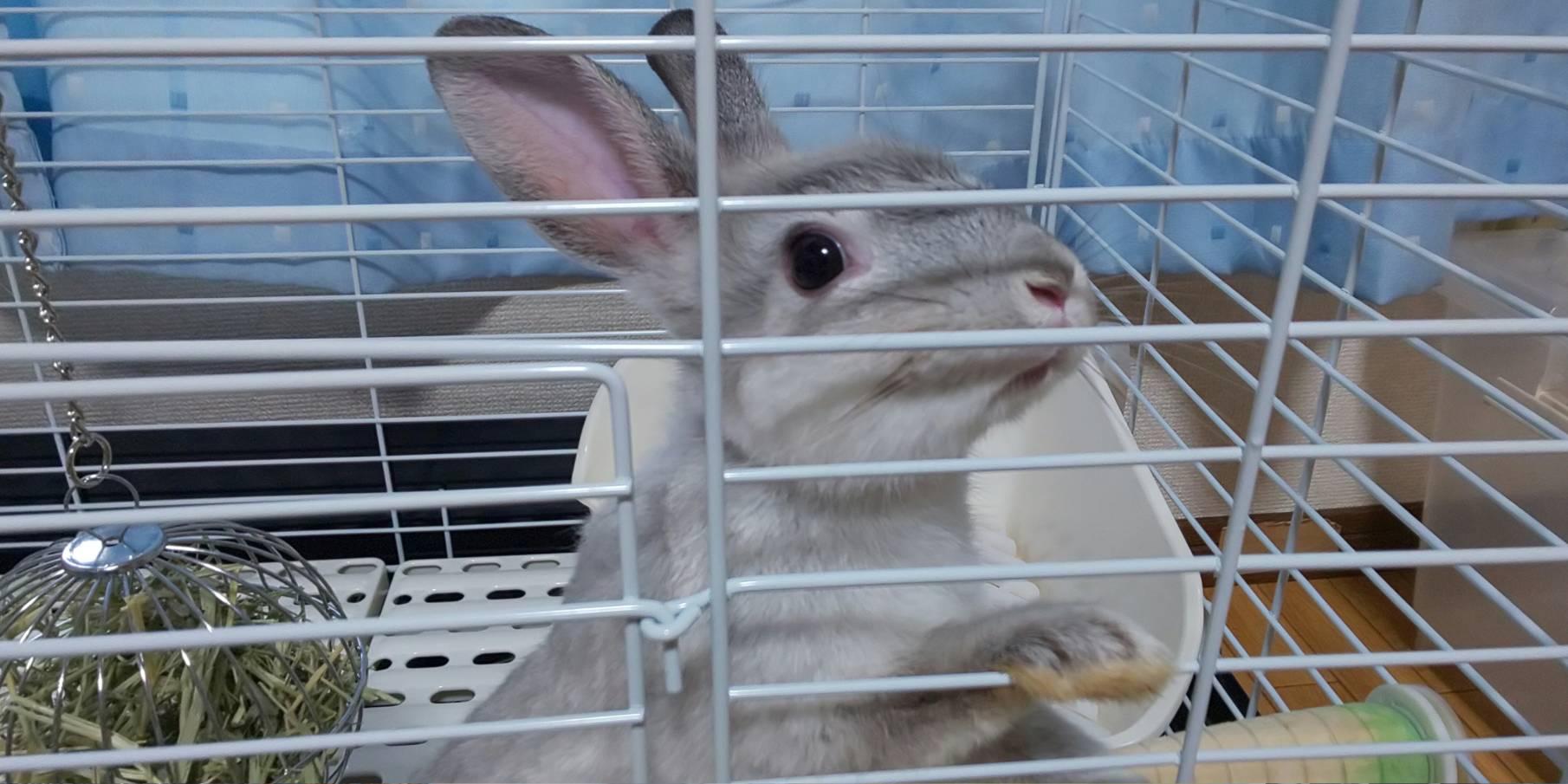 【ミニウサギ】絶賛筋トレうさぎが鍛えています。