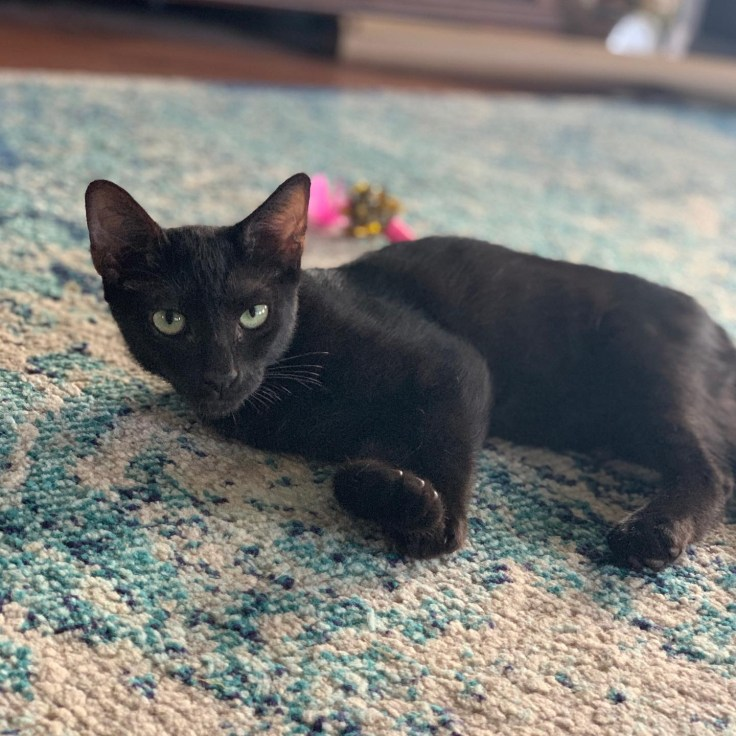 A picture of a young black cat lying on a blue mottled rug, staring into the camera with green eyes.
