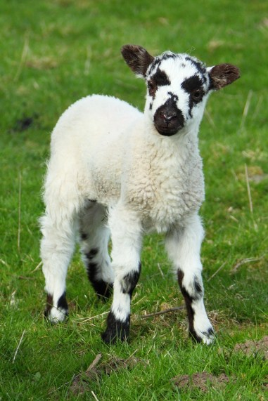Cute Lamb Sheep Animal - Image: Public Domain, Pixabay