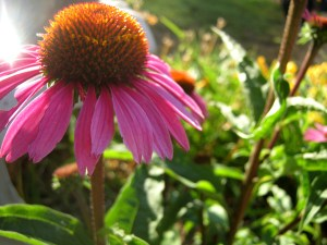 echinacea herbal immune