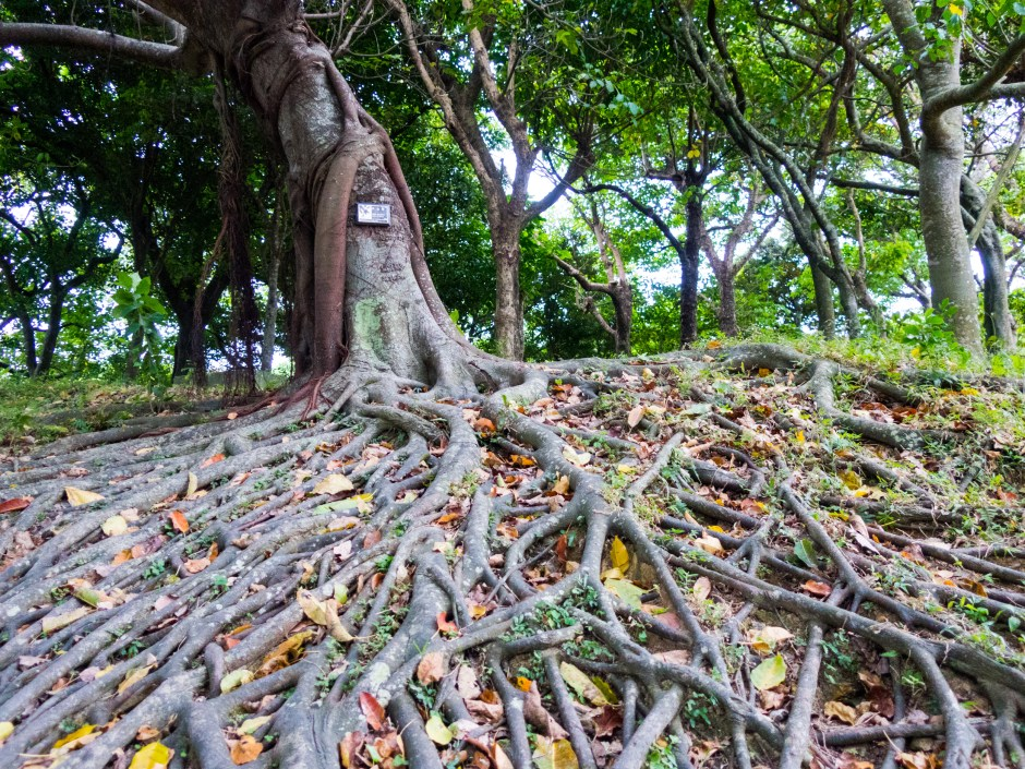 Incredible tree in Okinawa - Magician Brian Miller