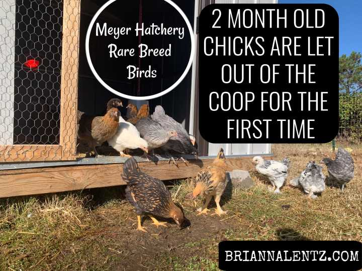 2 Month Old Chicks Are Let Outside For the First Time – Meyer Hatchery Rare Breed Birds – Video Included