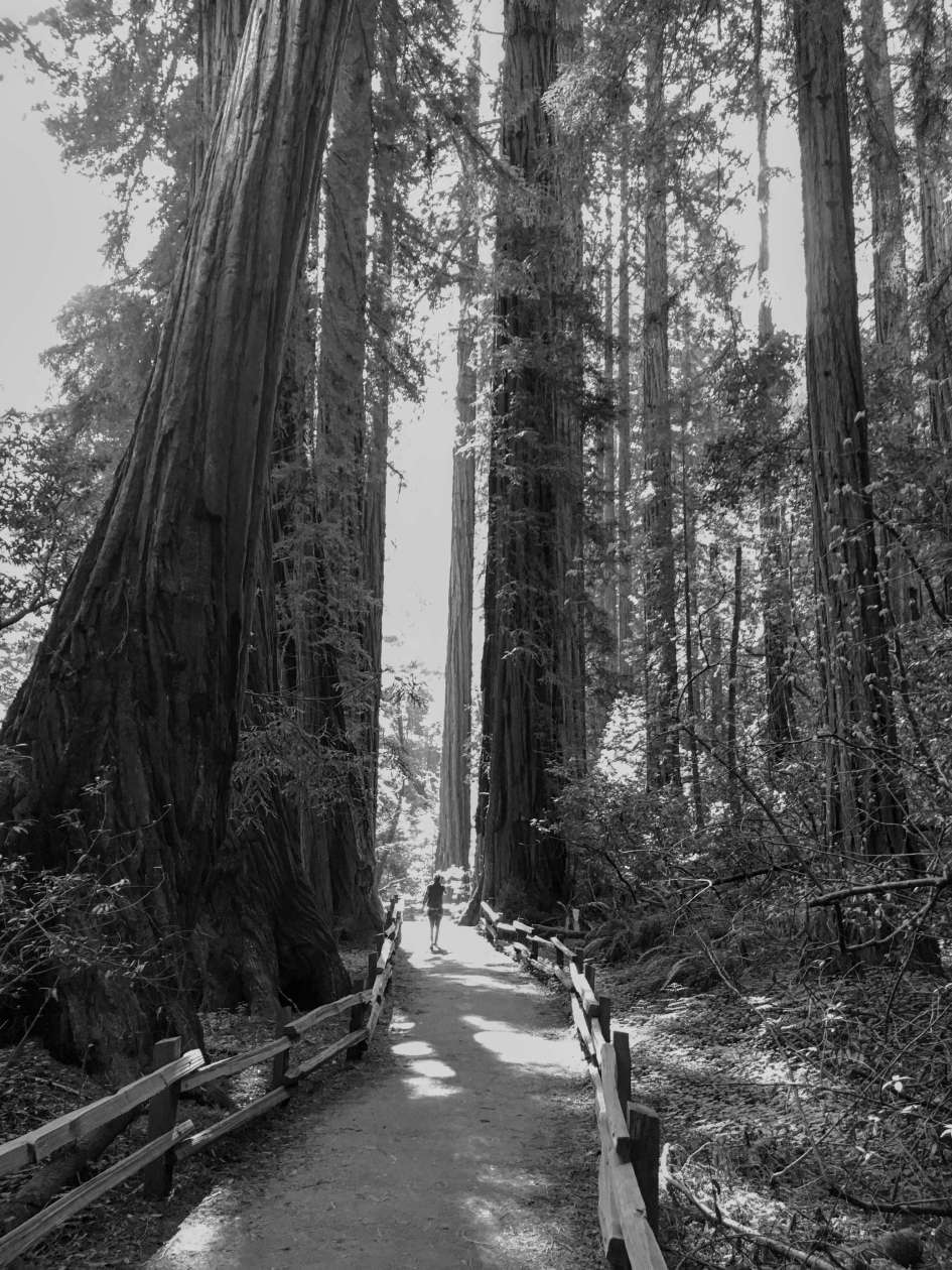 Muir Woods - Black and White - Perspective