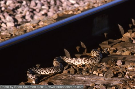 A large snake (of the non-rattling variety) suns itself on Montana Rail Link in Lombard Canyon, Montana. Nikon F3T with 105mm lens; Kodachrom 25 exposed at f4.5 1/250th second