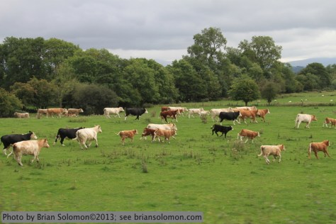 Startled cattle run alongside the train near Bagenalstown. Canon EOS 7D photo.