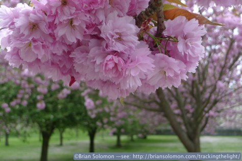 Cherry Blossoms at the War Memorial Gardens, Islandbridge.