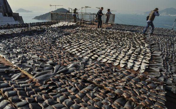 This file picture taken on January 2, 2013 shows shark fins drying on the roof of a factory building in Hong Kong. Antony Dickson /AFP/Getty Images