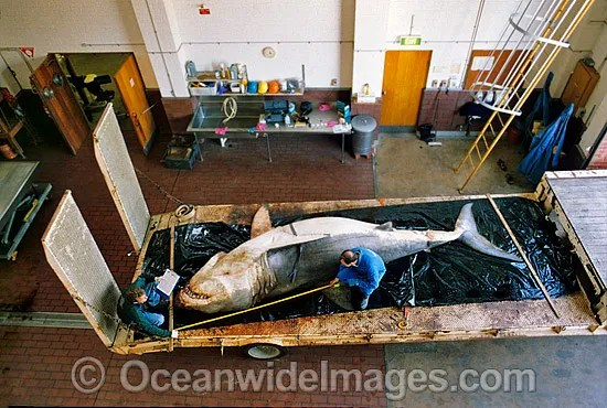 Australian researchers measuring a large female white shark. Photo: OceanwideImages