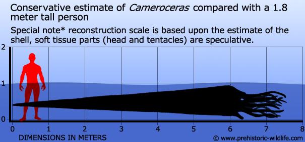 cameroceras-size