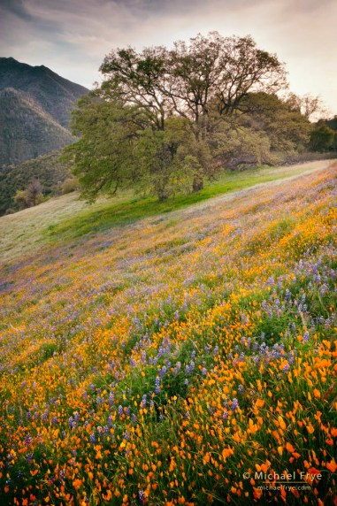 Poppies, lupine, and oaks, near El Portal, CA, USA