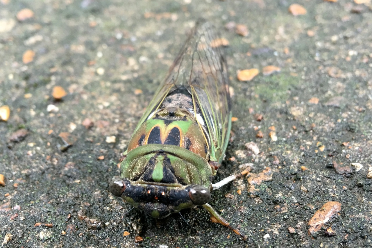 Cicada Drama