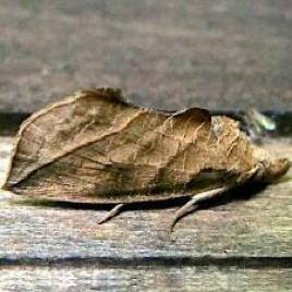 falena-Calyptra
