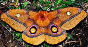 falena-Imbrasia-belina