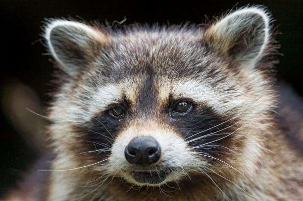 Rabid Raccoon Found in Brick; Birchwood Park Residents ...