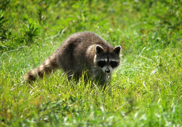 Local Pet Owners Warned Over Raccoons Carrying Canine ...