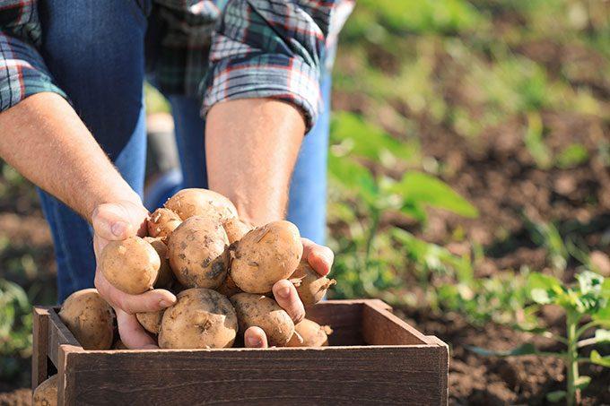 Planter ses pommes de terre
