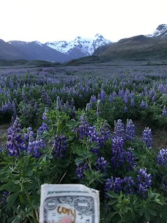 This was taken around midnight. They are lupens, but we called them Icelandic Bluebonnets!