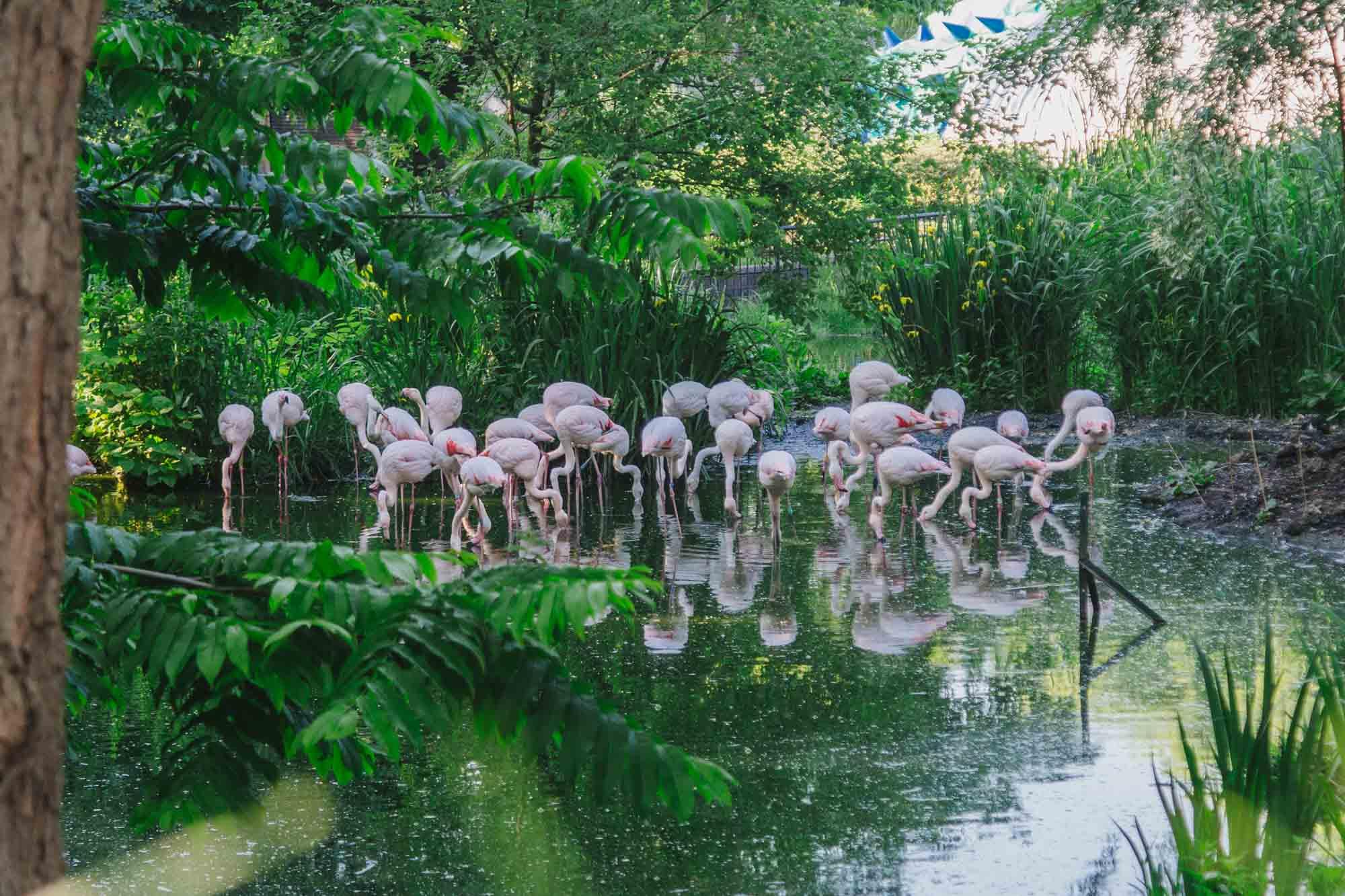 London Zoo - Flamingos