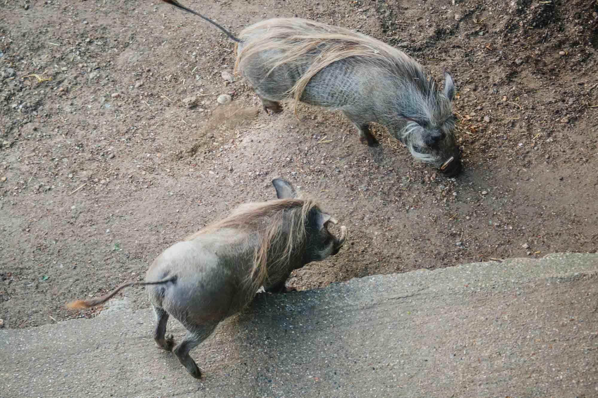 London Zoo - Wart Hogs