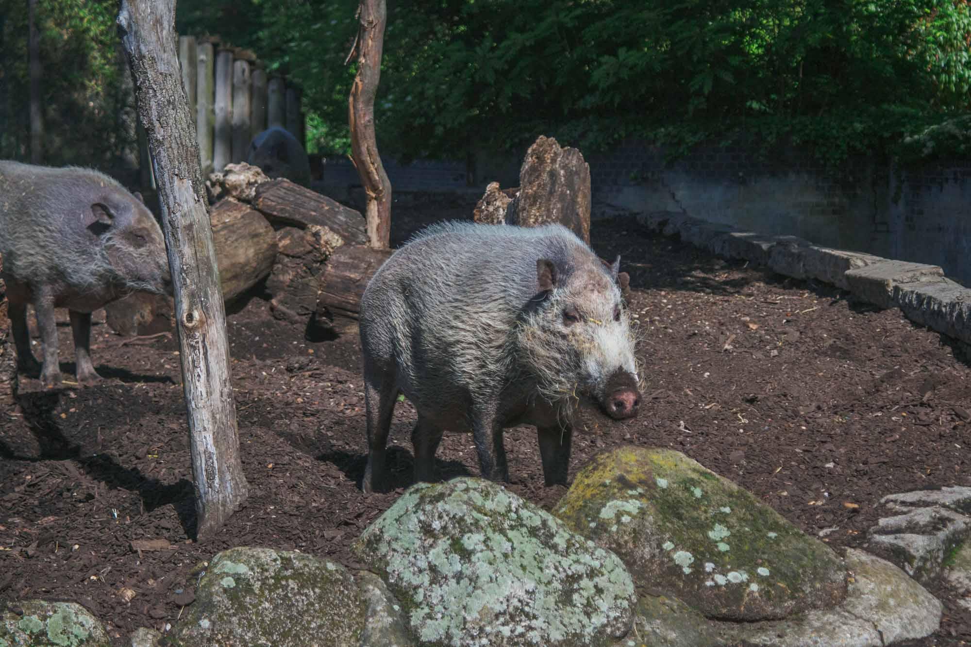 London Zoo ZSL - Bearded Pig