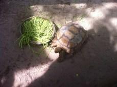 Turtle at Resort