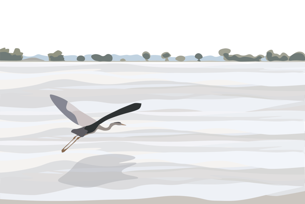 Great Blue Heron flying over a bay