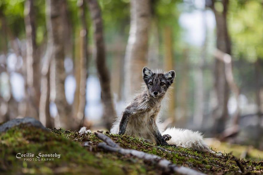 especes de renard 18