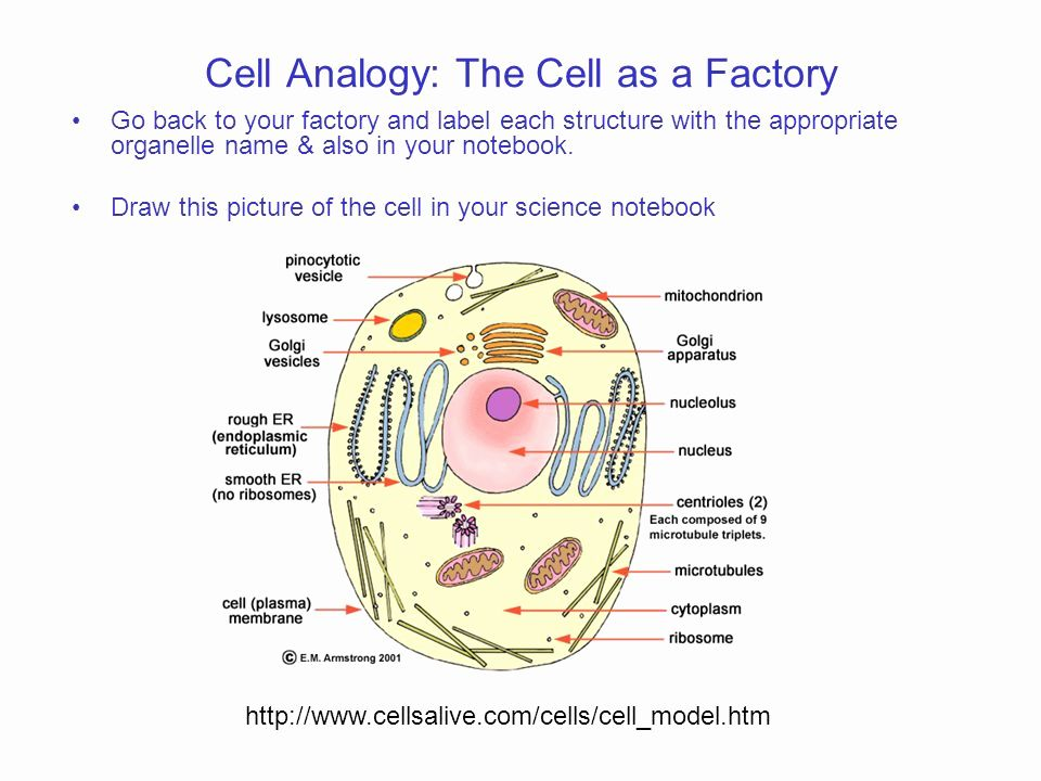 Cells Alive Plant Cell Worksheet Answer Key