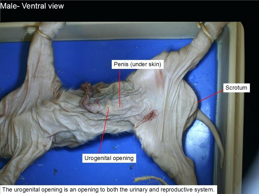 Fetal Pig Dissection Worksheet Answers