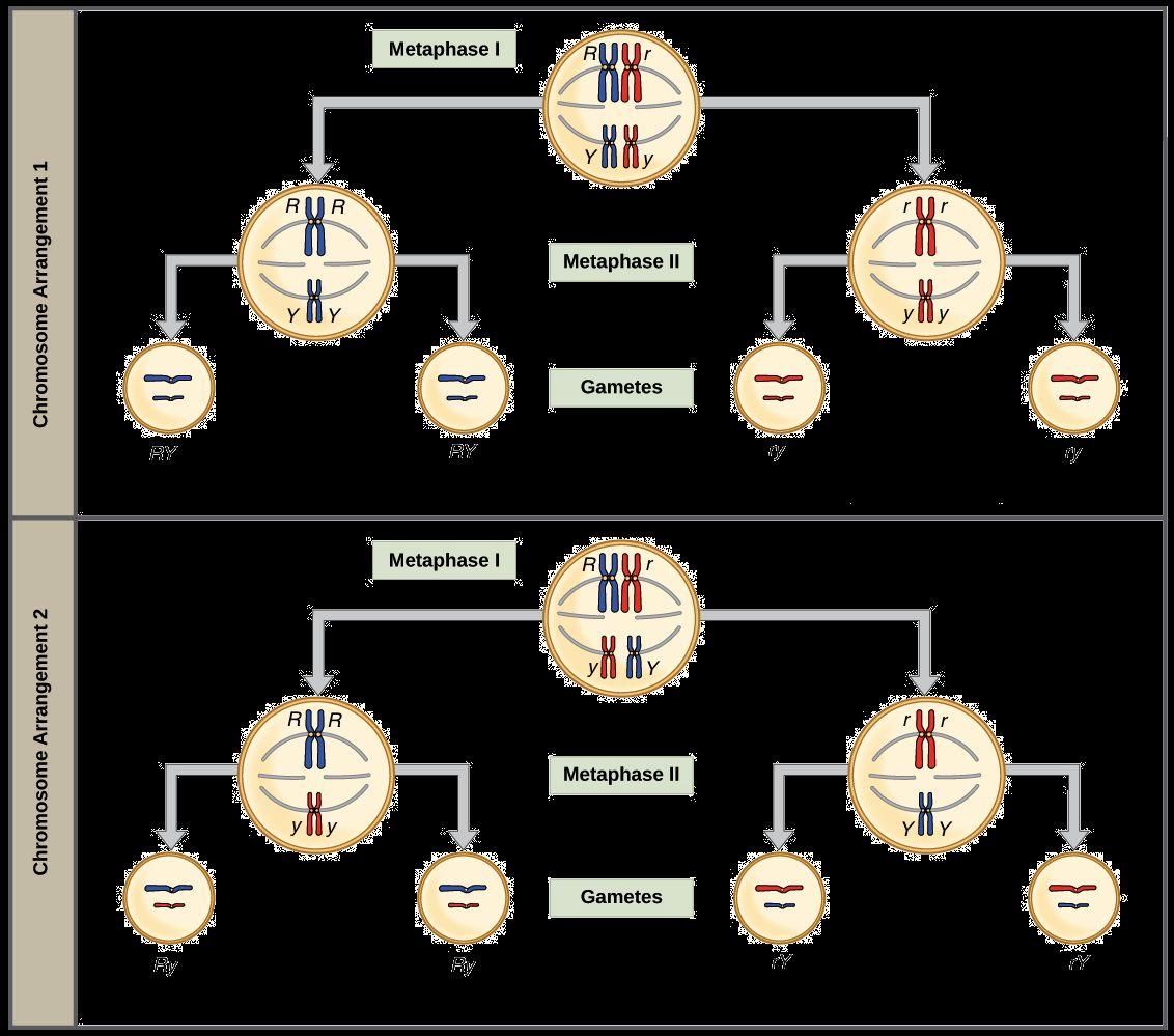 Genetics X Linked Genes Worksheet