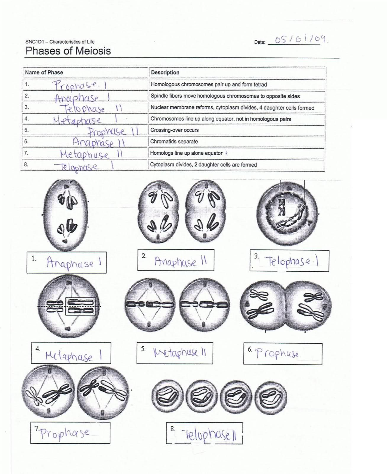 Phases Of Meiosis Worksheet Answer Key
