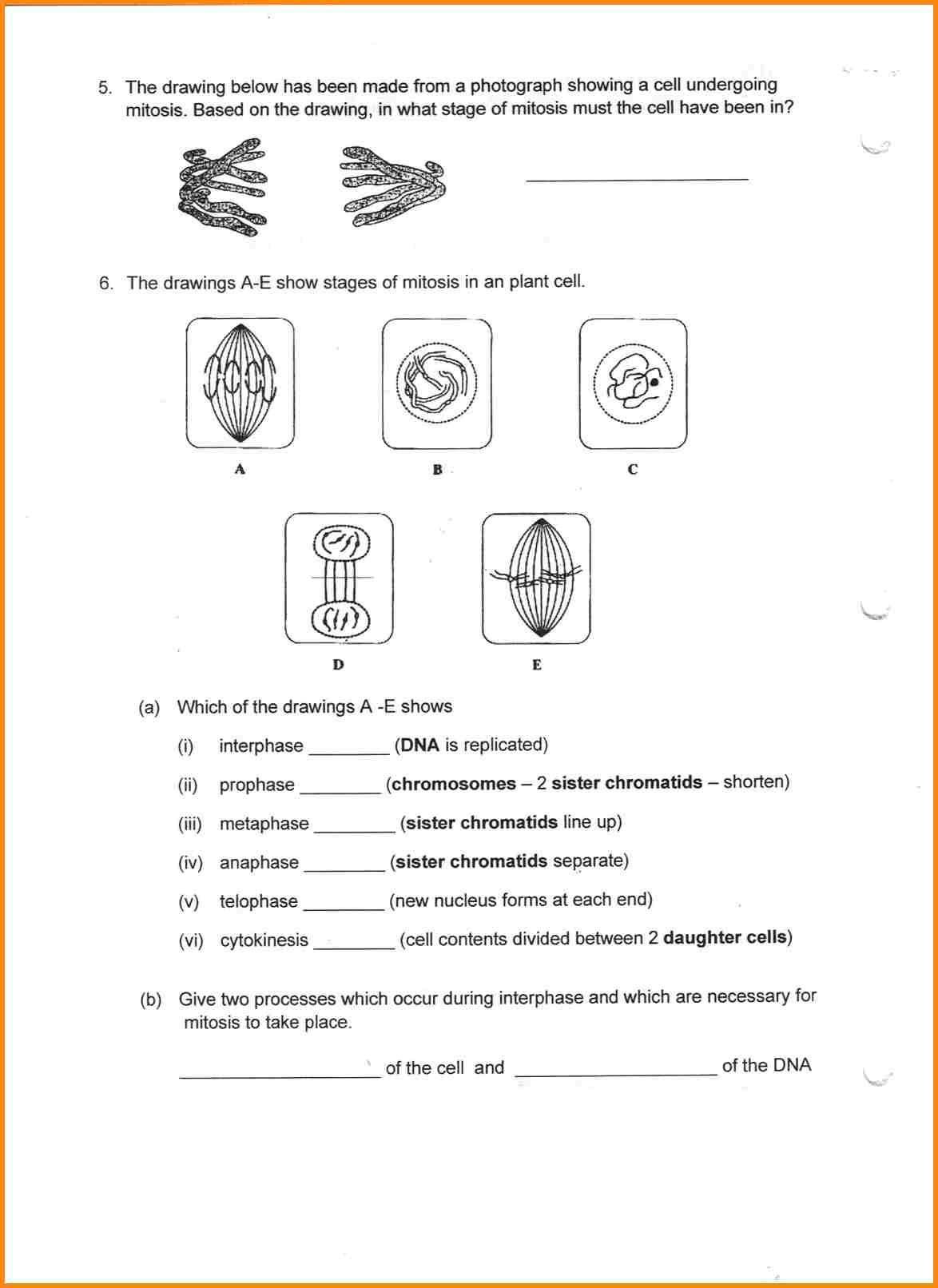 Onion Cell Mitosis Worksheet Key