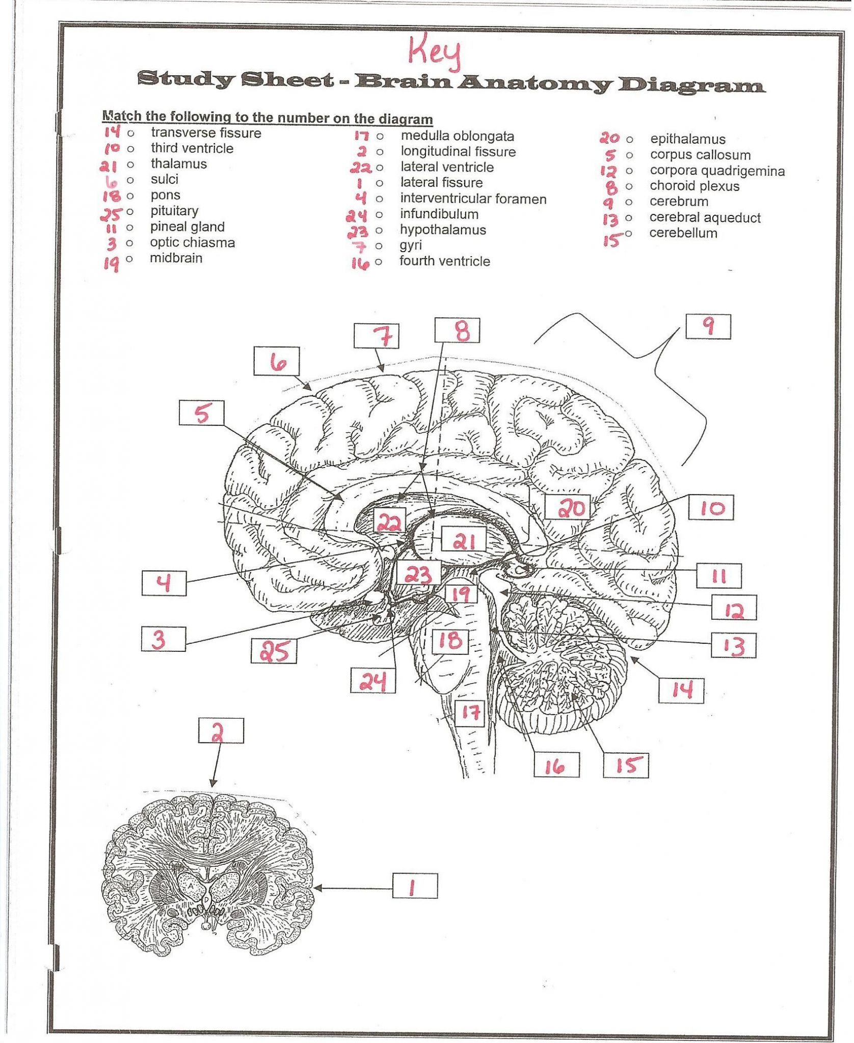 Tissue Worksheet Anatomy Answer Key