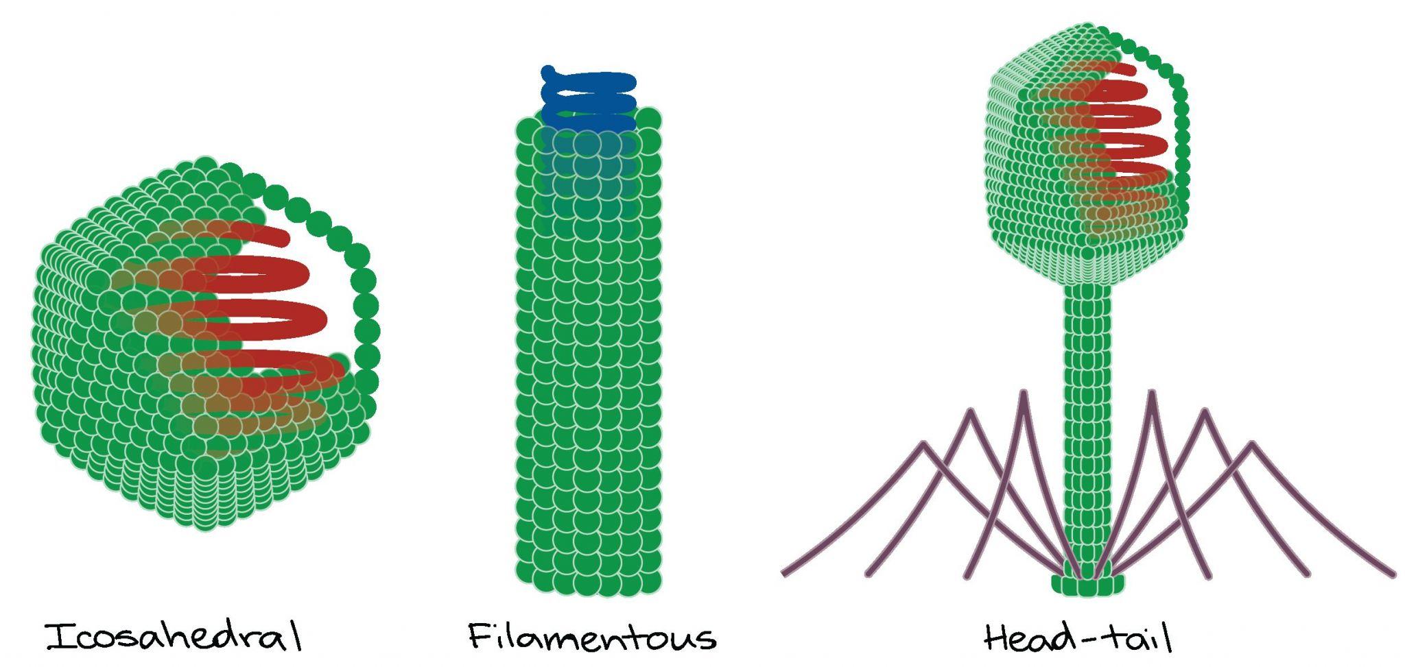 Viruses Bacteria Worksheet