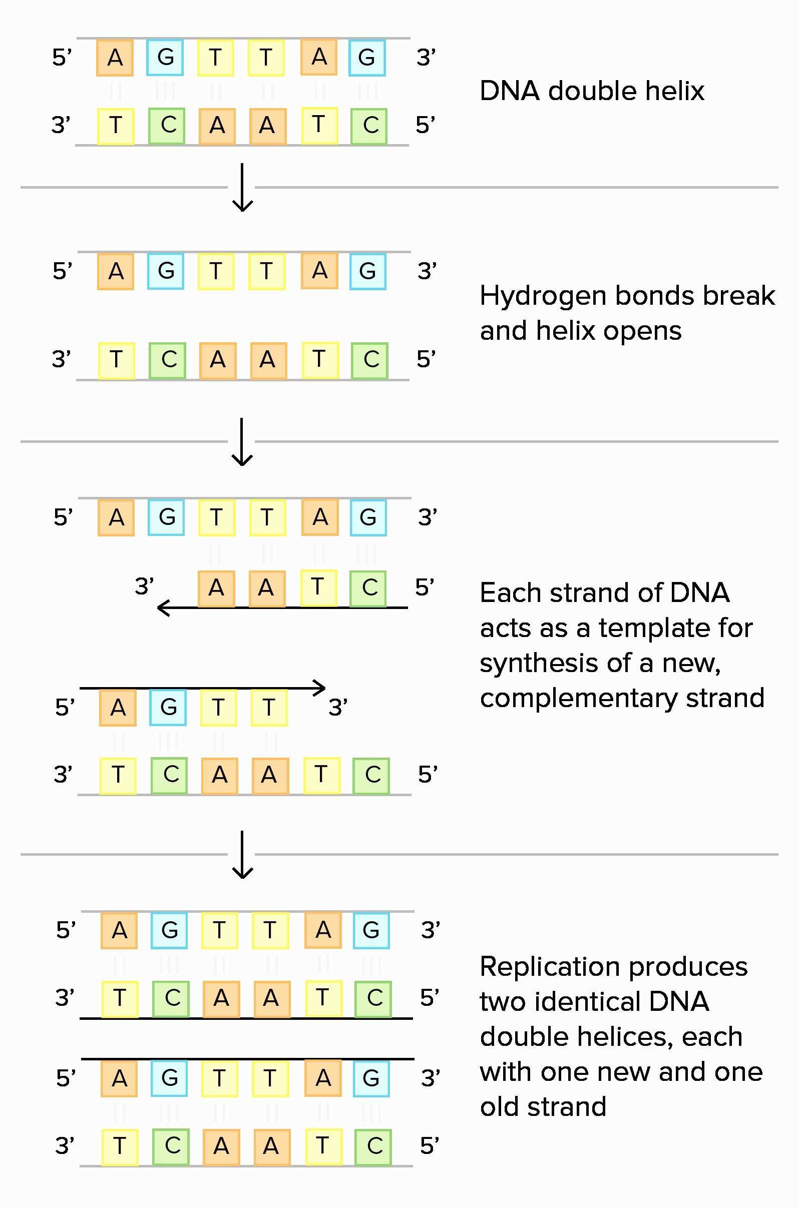 Worksheet On Dna Rna And Protein Synthesis Answer Sheet