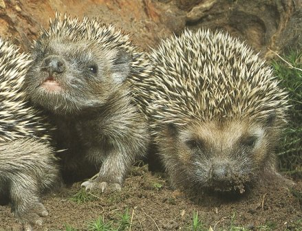Hedgehogs - Mature Times UK